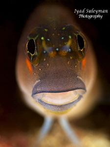 Blenny Poertrait by Iyad Suleyman 